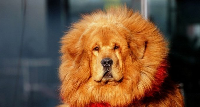 ma top 10 most expensive dog breeds in the world are akitas cheaper