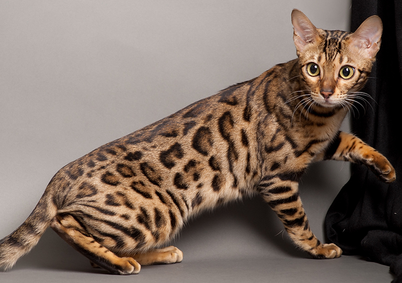 Top 12 Most Expensive Cat Breeds in the World: Ashera vs