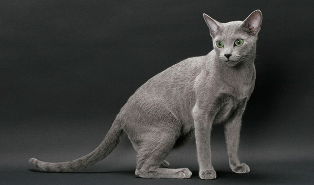 Top 12 Most Expensive Cat Breeds in the World: Ashera vs Savannah
