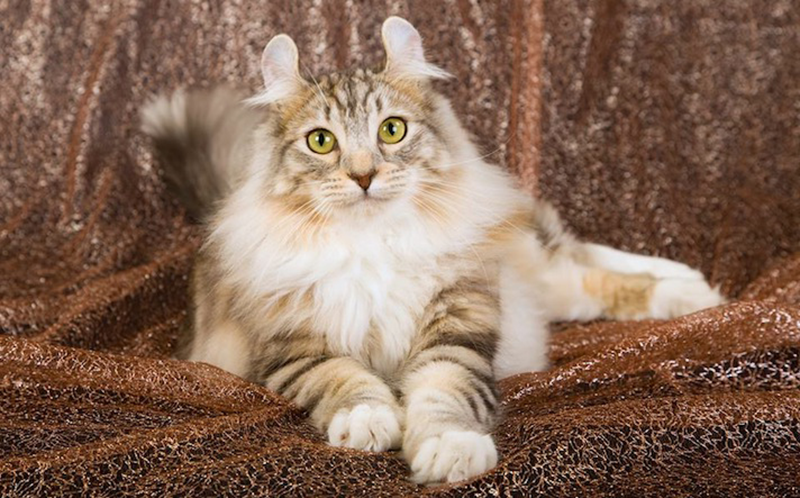 American Curl Cat Price In India