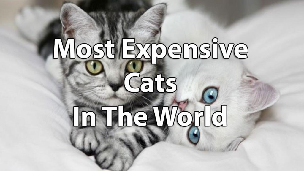 Top 12 Most Expensive Cat Breeds In The World Ashera Vs