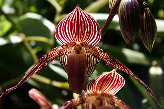 Gold of Kinabalu Orchid